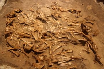 ゴビの多様な発掘地から見つかる極上の化石を大量展示。特別展『発掘!モンゴル恐竜化石展』その2