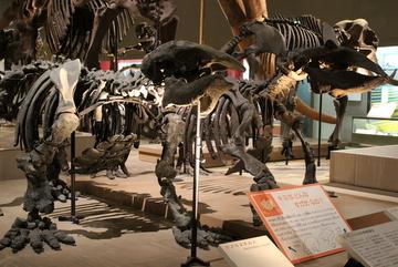 大阪市立自然史博物館でデスモスチルスの生態復元画が新たに展示されるらしいよ