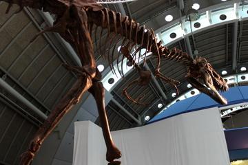 ティラノサウルスの亜成体ジェーンが観られる。『世界大恐竜展』