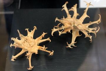特別展『旅をするタネ』は植物の多様な種子散布の戦略が学べて楽しい。